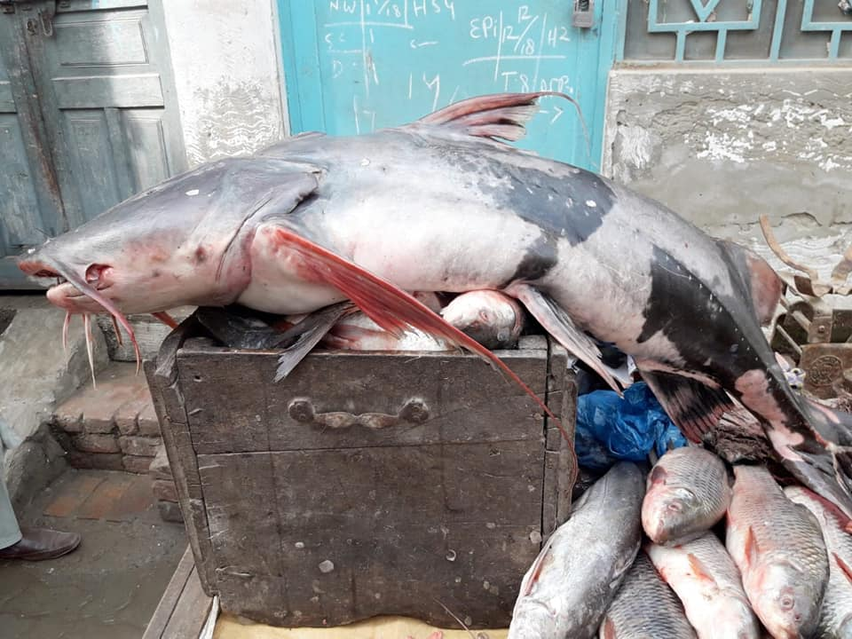 heavy fishes caught in haveli lakha