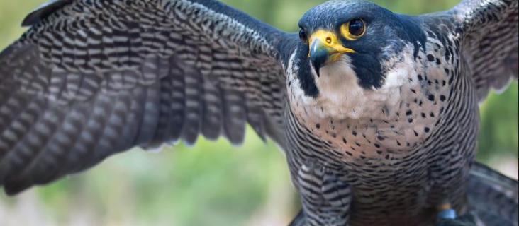 falcon hunters arrested in satluj